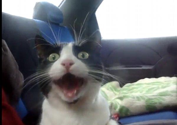 amazed-cat